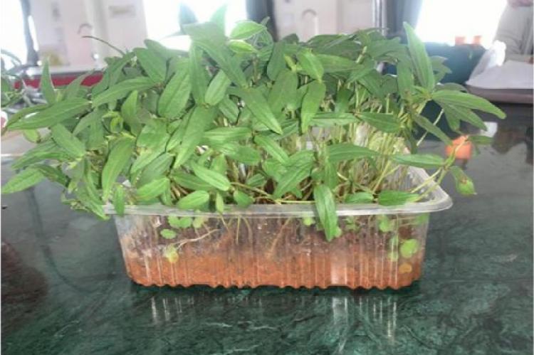 Vigna radiata L. Grown in Soil