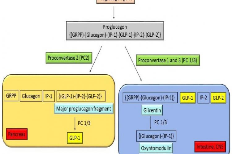 Production of intestinotropic hormones (GLP-1 and GLP-2)