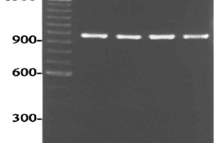 Agarose gel showing Amplified DNA