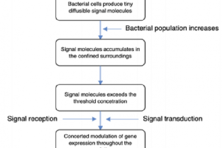 Basic step-wise mechanism/process by which  bacteria bring about quorum sensing