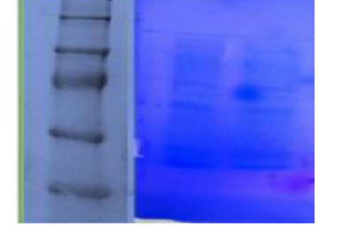 Electrophoresis analysis of protein bands from the sample. L1 – Molecular Marker; L2 –Sample.