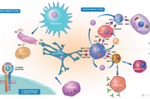 Immune response to viral infection