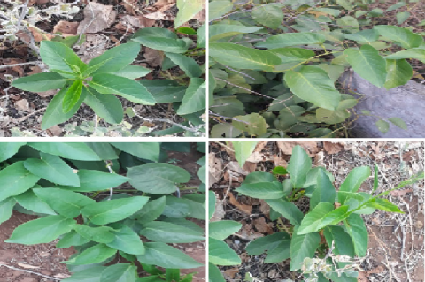 Images of Medicinal plant Ipomoea staphylina