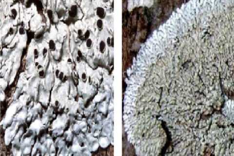 Photograph of the apothecia of Pyxine petricola and Pyxine sorediata